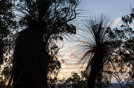 Grass Trees, Davies Creek