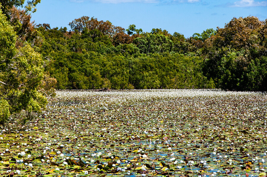 Water Lilies, Keatings Lagoon, Cooktown