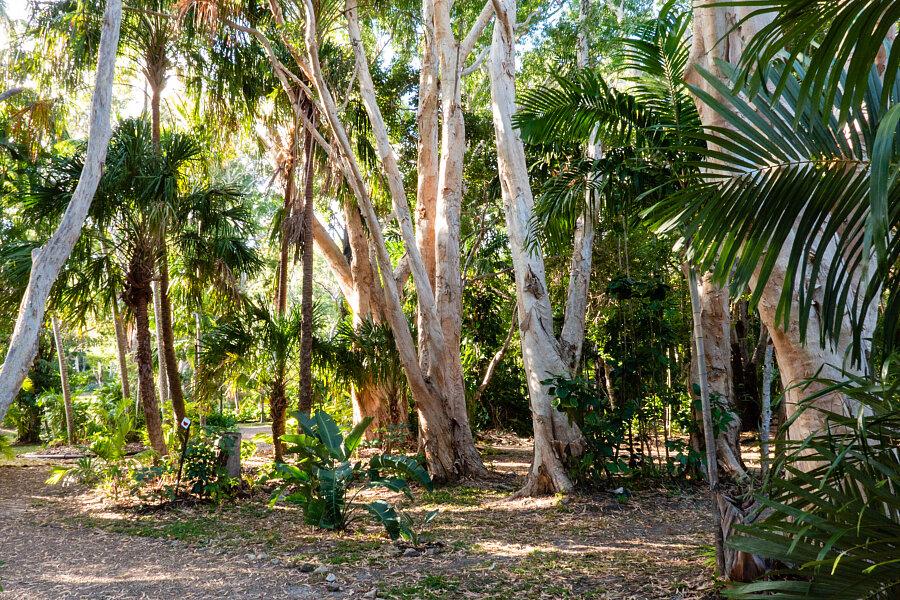 Melaleucas -Cooktown Botanical Garden