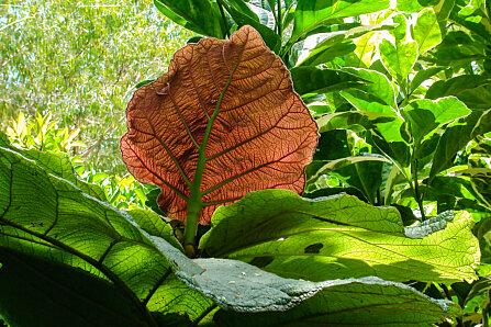 Grandleaf Seagrape (Coccoloba sp.) Cairns Botanical Gardens