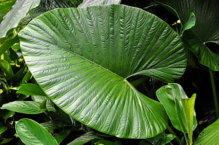 Large Alocasia leaf, Cairns Botanical Gardens