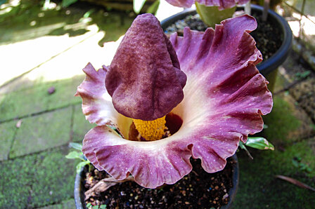 Amorphophallus flower, Cairns Botanical Gardens