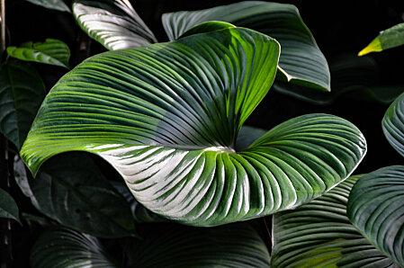 Anthurium leaf, Cairns Botanic Gardens