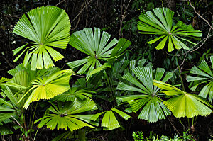 Licuala Fan Palm, Cairns Botanical Gardens