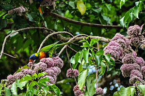 Rainbow Lorikeet feeding on Pink Euodia