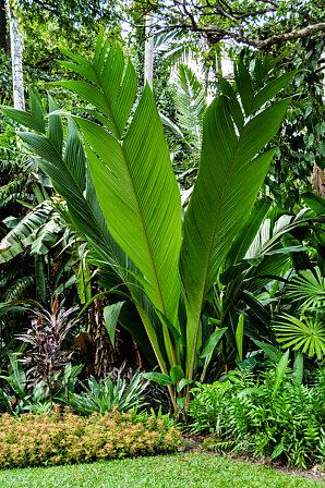 4m fronds of Johannesteijsmannia Palm, Cairns Botanic Gardens