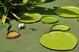 Amazonia victoria water-lilies, Fitzalan Garden Cairns