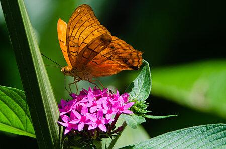 Common Cruiser Butterfly feeding on Penta flower