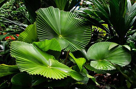 Licuala Fan Palm, Cairns Botanic Gardens Conservatory