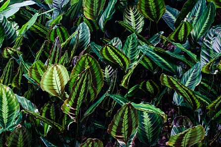 Calathea leaves, Cairns Botanical Gardens