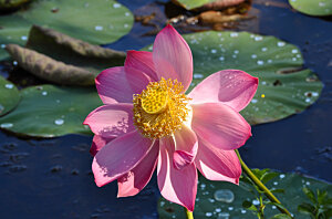 Sacred Lotus water-lily (Nelumbo nucifera), Centenary Lakes Cairns