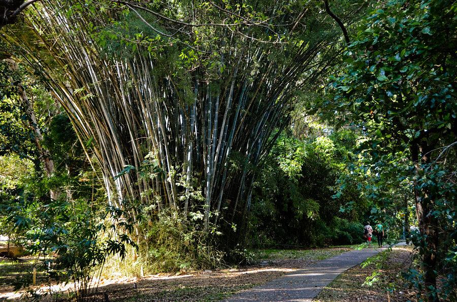 Bamboo colllection, Cairns Botanic Gardens
