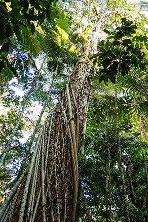 Melaleuca on Cairns Botanic Gardens boardwalk