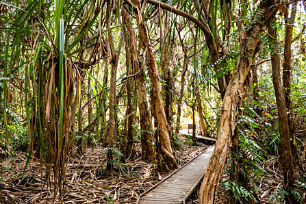 Pandanus grove at the end of the Cairns Botanic Gardens boardwalk