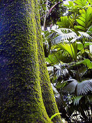 Breadfruit tree & Panama Hat plant