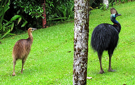 Young Cassowary & Male Cassowary at Etty Bay