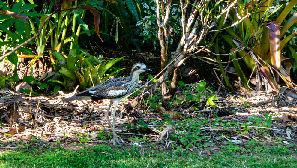 Stone Curlews nest in the garden