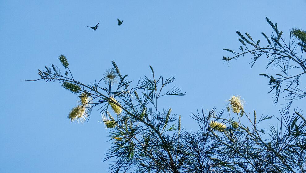 Butterflies feeding on Grevillea flowers