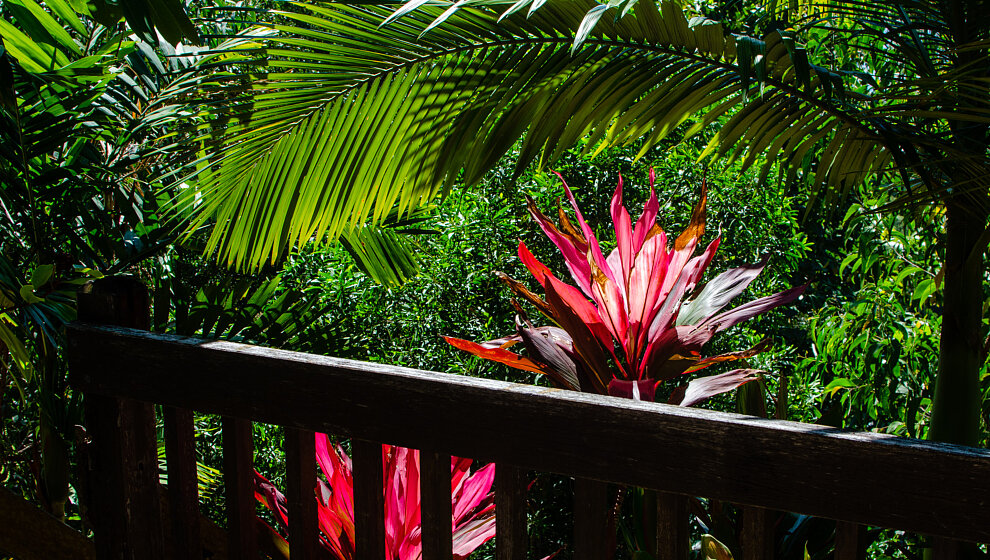 Sapphire Ridge lower terrace, vivid leaves of Cordyline plants