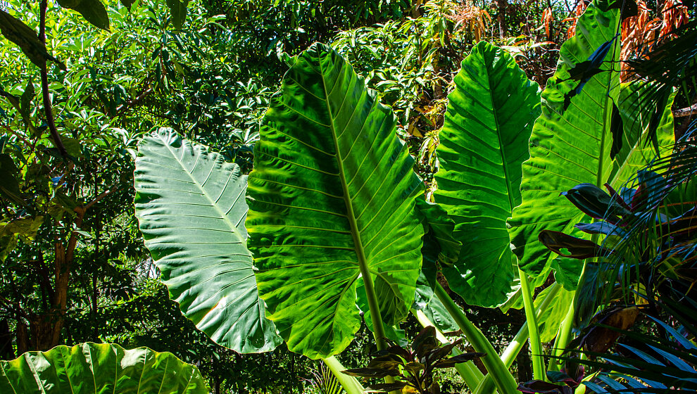 Sapphire Ridge lower terrace, Elephant Ear plants (Alocasia sp.)