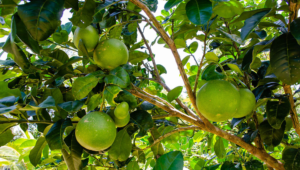 Pomelos almost ready to pick