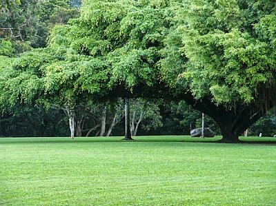 Fig tree Goomboora Park