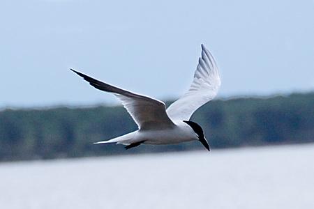 Tern flying off Cairns Esplanade